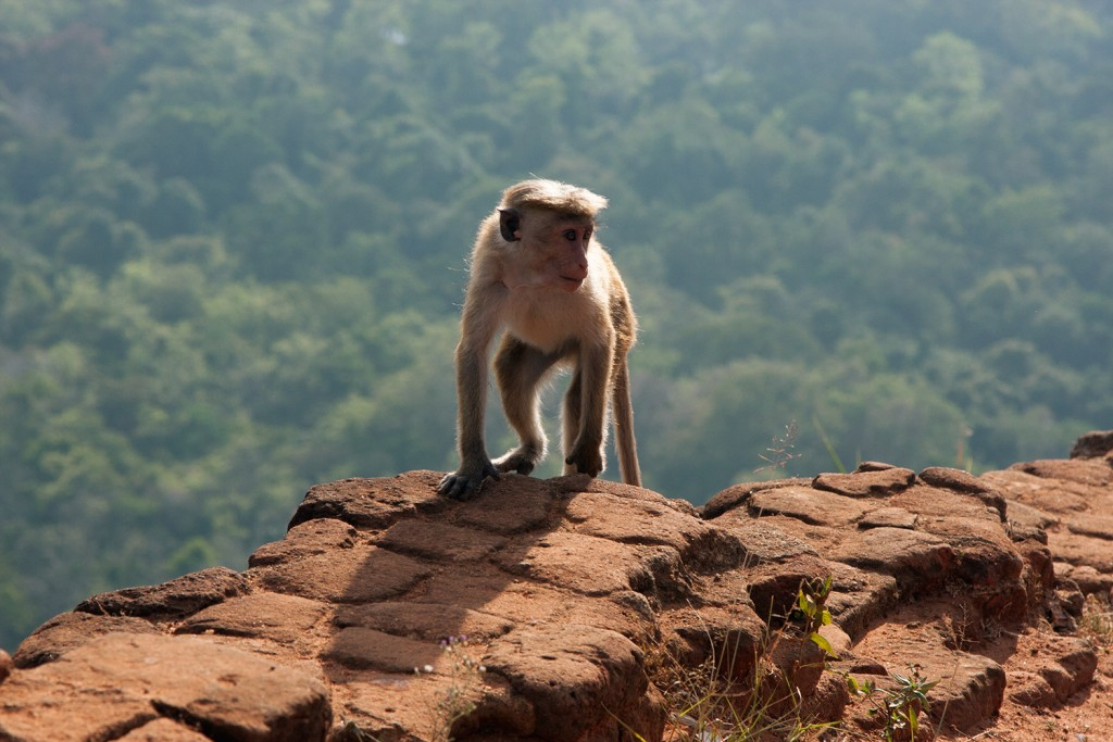 Monkey playing on Sigiriya Rock, Sri Lanka