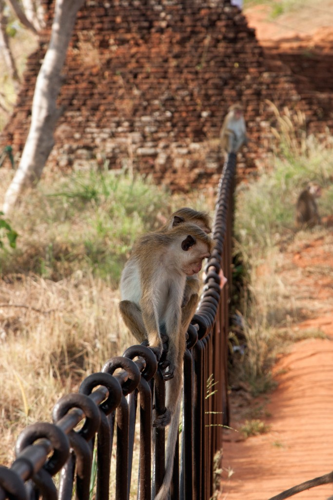 Monkeys on Sigiriya Rock, Sri Lanka